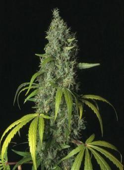 ultraviolet-samsara-seeds-piensaenverde