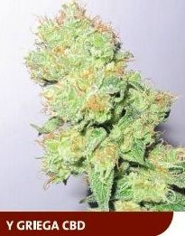 y-griega-cbd-medical-seeds