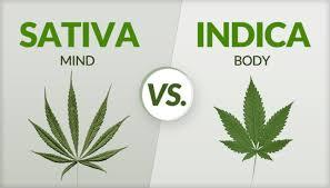 INDICA VS. SATIVA3