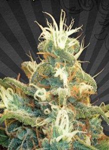 2885_polar-express-auto-seeds-piensa-en-verde