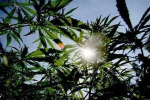 podar_marihuana_3