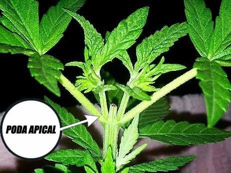 Poda-apical1