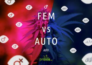 Feminized or autoflowering marijuana seeds? We explain the differences