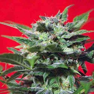 semillas-automticas-feminizadas-de-cnnabis-speed-devil-3-uds-2