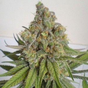 semillas-feminizadas-de-cannabis-purple-wreck-2