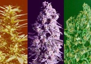L'importance de connaître la génétique du cannabis