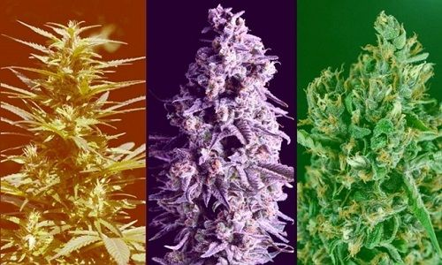 Indica-Sativa-Ruderalis-Did-We-Get-It-All-Wrong-The-Leaf-Online