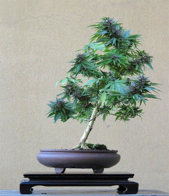 cannabis-bonsai