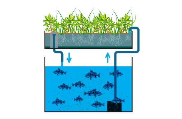 systeme-aquaponie-avec-siphon