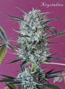 3207_krystalica-mandala-seeds-piensa-en-verde