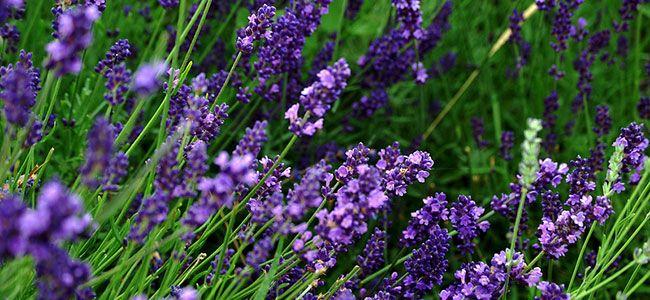 hO4Ak2jRaqDTe1RiHTGZ_lavender