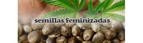semillas-feminizadas