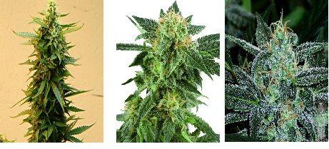 1Short-Stuff-Seeds-piensa-en-verde