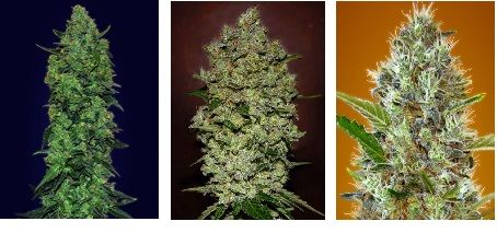 2auto-skunk-mass-advanced-seeds-piensa-en-verde