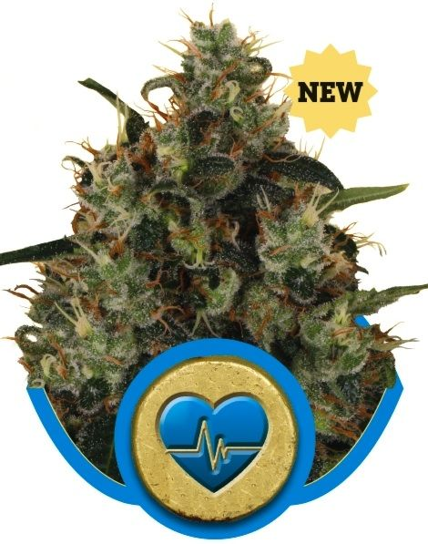 3medical-mass-royal-queen-piensaenverde