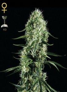 Super-Silver-Haze-www.demarihuana.es
