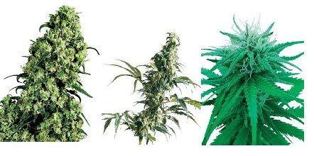 sensiseeds-cannabisgreen