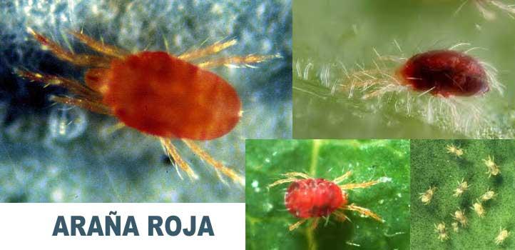 01-como-elimininar-la-araña-roja-en-la-marihuana