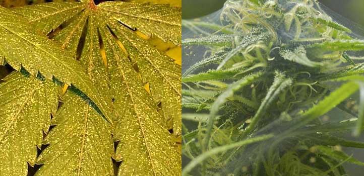 01-evidencias-de-araña-roja-en-la-marihuana