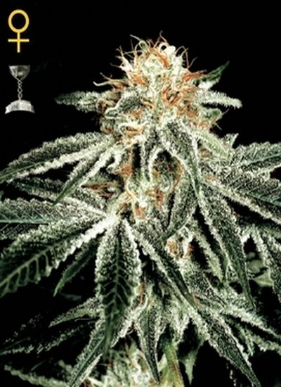 White-Widow-www.demarihuana.es