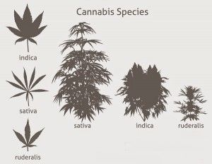 cannabis_species