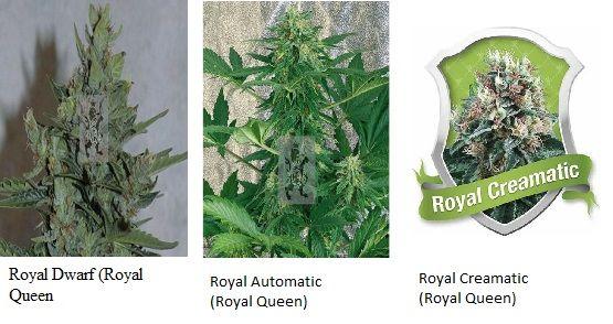 353_royal_dwarf_royal_queen_Cannabisgreen
