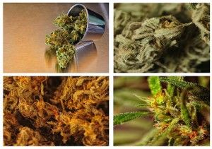 Tips for increased production of marijuana
