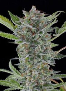 White-widow Dinafem Seeds
