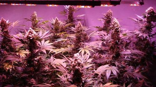 Économiser avec la culture de cannabis intérieure