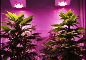 Save growing marijuana indoor
