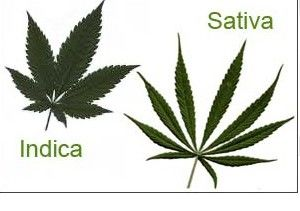 Marijuana phenotype Indica or Sativa