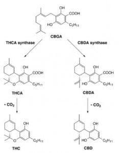 El CBG da como resultado el THC y el CBD