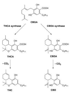 The CBG, results in THC and CBD