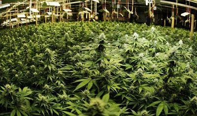 Obtain greater production of marijuana
