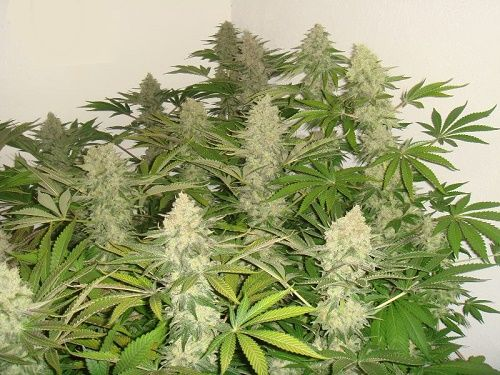 More dense and resinous marijuana flowers