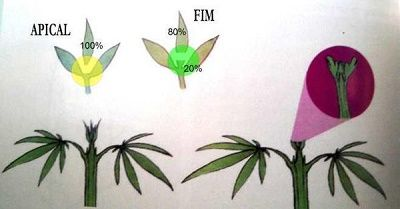 Apical pruning vs pruning FIM