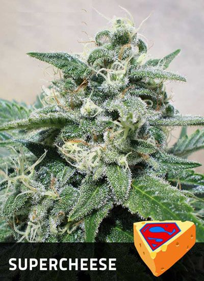 Supercheese - Positronics Seeds