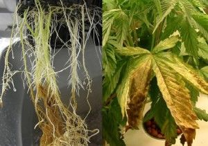 Root rot in marijuana
