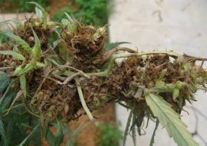 Le champignon Fusarium dans le cannabis