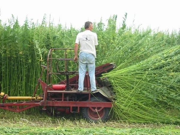 Industrial hemp in Spain