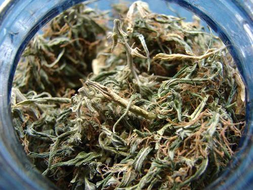 Las flores de cannabis tienen que estar recién cosechadas.