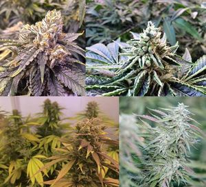 Regular vs feminized seeds, what variety of seed to use