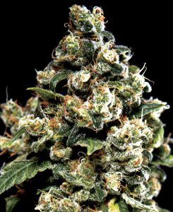 jack-herer-green-house