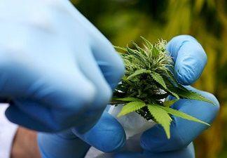 Un grand pas dans la recherche sur la marijuana comme un produit thérapeutique.