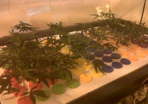 Top 10 meilleures variétés de marijuana pour faire des boutures