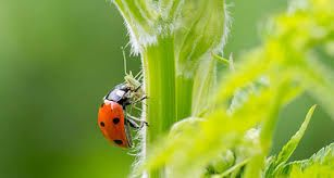 Ladybugs eliminate harmful mites