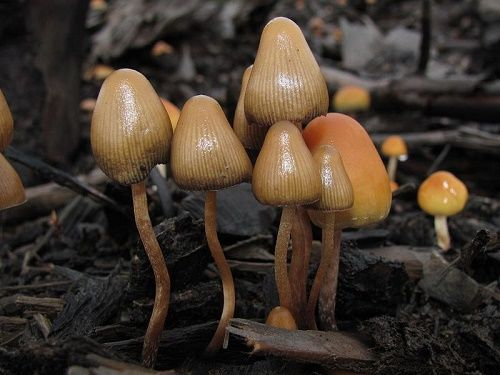 The monguis mushrooms grow in wet areas from 600 meters