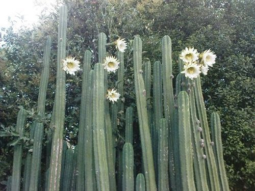The San Pedro Cactus reaches the height meter.