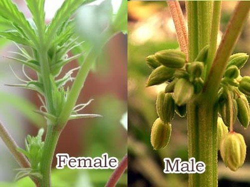Difference between a female and male Plant