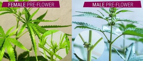 Zwei Monate nach der Keimung zeigt Cannabis sein Geschlecht.